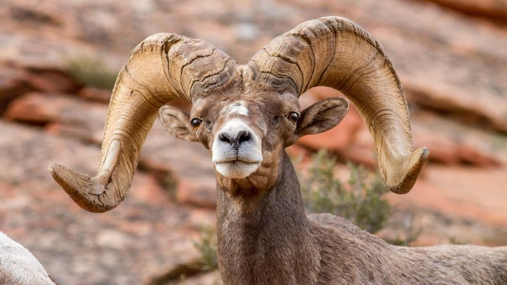 Pneumonia Is Biggest Threat To Nevada S Desert Bighorn Sheep Krnv